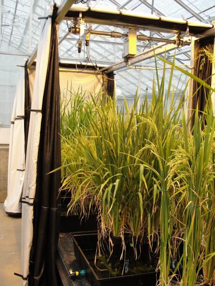 Curatins to control photoperiod for growing rice